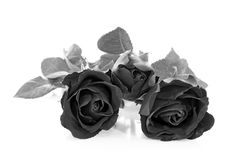 Black rose on over white background Royalty Free Stock Image