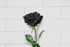 Black rose Stock Photography