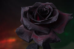 Black rose. Rose painted black with special paint. Filmed in a Studio on a black background using the color filters Stock Image