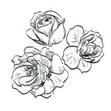 Black rose on white background Stock Photos