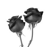 Black rose on white background Royalty Free Stock Photography