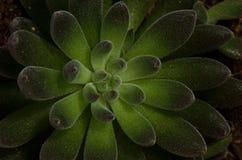 Black rosette echeveria SUCCULENT pot Stock Images
