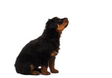 Black rottweiler  puppy. Curious rottweiler puppy studio isolated on white Royalty Free Stock Photos