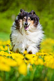 Black rough collie dog Stock Photos