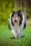 Black rough collie dog Stock Photography