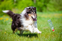 Black rough collie dog Royalty Free Stock Photo