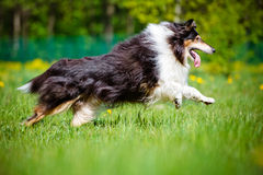 Black rough collie dog Stock Image