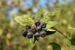 Black rowanberry Stock Photos