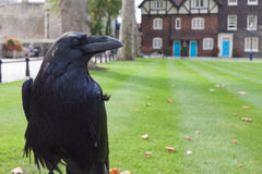 Black Royal Crow Stock Image
