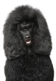Black Royal poodle portriat Stock Images