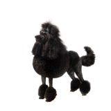 Black Royal poodle on white Stock Images