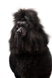 Black Royal poodle on white Royalty Free Stock Photography