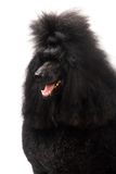 Black Royal poodle on white Stock Photography