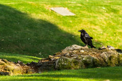 Black Royal Raven in the Tower of London. London, England. Black Royal Raven - one of the symbols of the Tower of London. The Tower of London is a historic Stock Photo