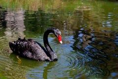 Black Royal Swan Royalty Free Stock Image