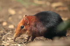 Black and rufous elephant shrew. The black and rufous elephant shrew in the soil Royalty Free Stock Image