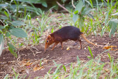 Black and Rufous Elephant Shrew Royalty Free Stock Images
