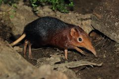Black-and-rufous elephant shrew. Strolling in the grass stock images