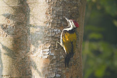 Black-rumped flameback bird in Nepal Stock Images