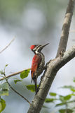 Black-rumped flameback in Ella, Sri Lanka Stock Photo