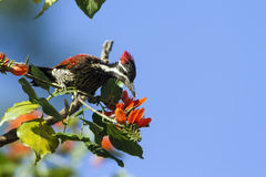 Black-rumped flameback in Ella, Sri Lanka Stock Photos