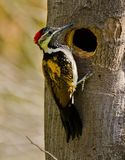 A black-rumped flameback woodpecker Royalty Free Stock Photos