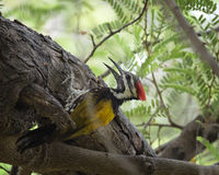 Black-Rumped Flameback Woodpecker Royalty Free Stock Images