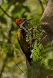 Black-rumped flameback woodpecker Royalty Free Stock Photo