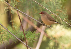 A Black-rumped Waxbill Stock Photo