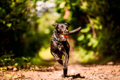 Black running dog with toy Royalty Free Stock Photos