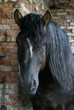 Black Russian shire horse. A black Russian chire stallion against brick wall Royalty Free Stock Photo