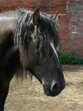Black Russian shire horse. A portrait of a black Russian shire horse against brick wall Royalty Free Stock Image