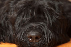 Black Russian Terrier Royalty Free Stock Photography