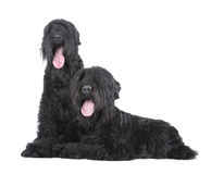 Black russian terrier Stock Photos