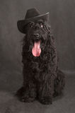 Black Russian Terrier Stock Image