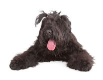 Black Russian Terrier (BRT or Stalin's dog) Royalty Free Stock Photography