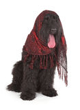 Black Russian Terrier (BRT or Stalin's dog) Stock Photo