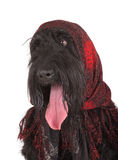 Black Russian Terrier (BRT or Stalin's dog) Stock Image