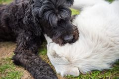 Black Russian terrier plays with a white Sheep dog royalty free stock photography