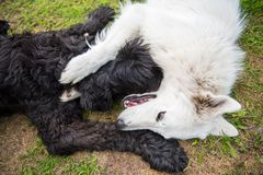 Black Russian terrier plays with a white Sheep dog stock image
