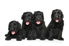 Black Russian terrier puppies Royalty Free Stock Photography