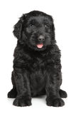 Black Russian terrier puppy Stock Images