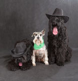 Black Russian Terrier & Schnauzer Stock Photo