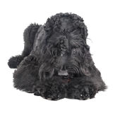 Black russian terrier Royalty Free Stock Photos