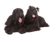 Black Russian Terriers (BRT or Stalin's dog) Royalty Free Stock Photo