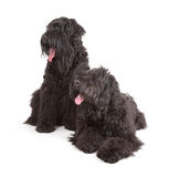 Black Russian Terriers (BRT or Stalin's dog) Royalty Free Stock Photography