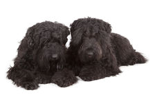 Black Russian Terriers (BRT or Stalin's dog) Stock Photography