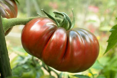 Black Russian tomato Royalty Free Stock Image