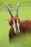 Black sable antelope. Lying on the grass Stock Images