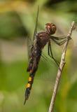 Black Saddlebags Dragonfly Stock Images